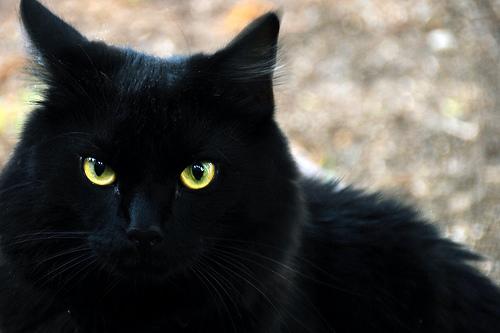 Tribe Character & Ranks Blackcat